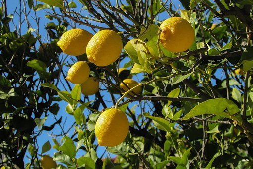 lemon-tree-1878505__340