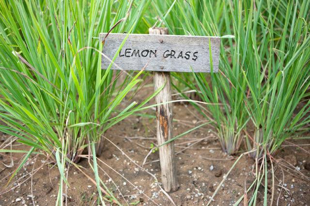 lemongrass-in-garden_istock