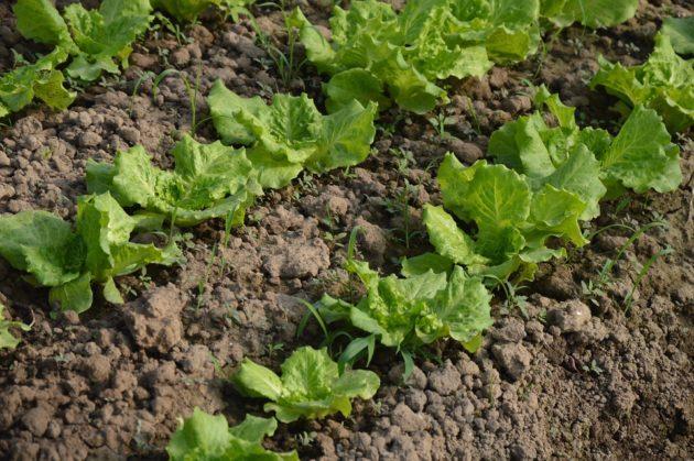 lettuce-798104_960_720