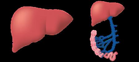 liver-3026639_640