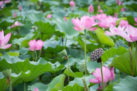 lotus-2537287_640