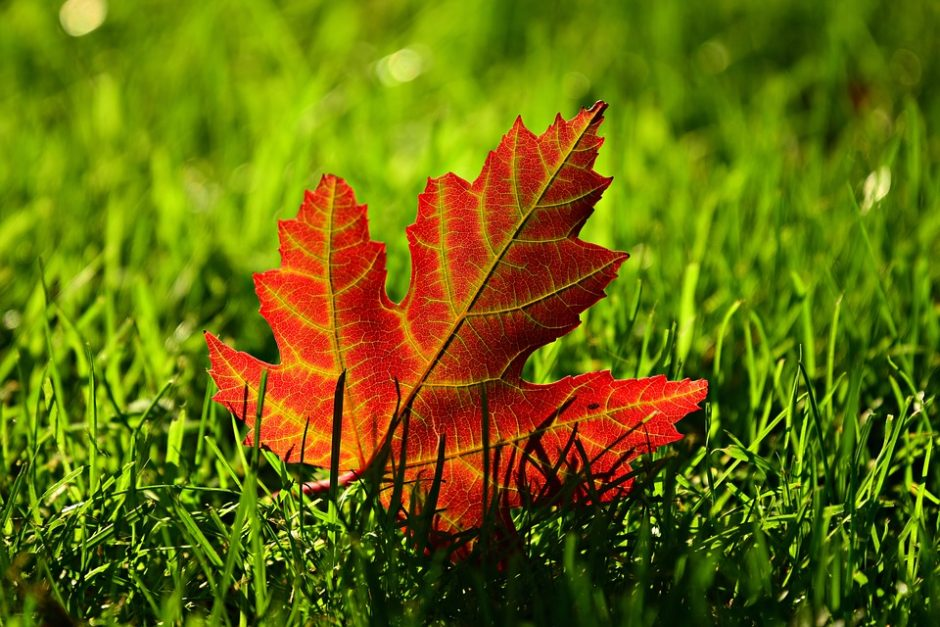 maple-leaf-3680684_960_720