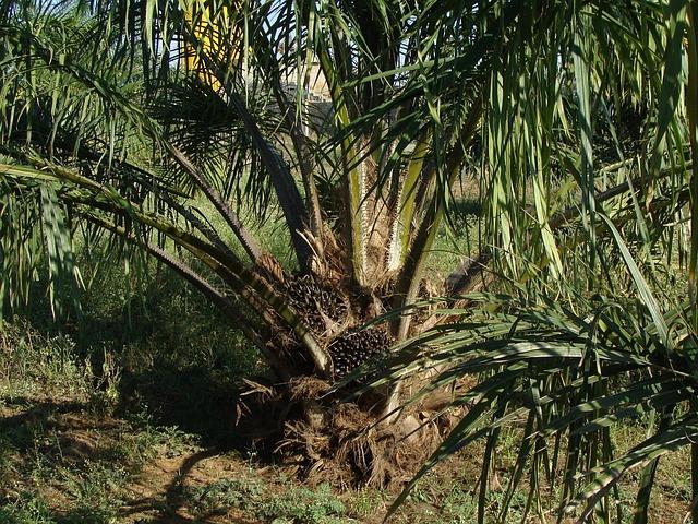 oil palm 287902 640