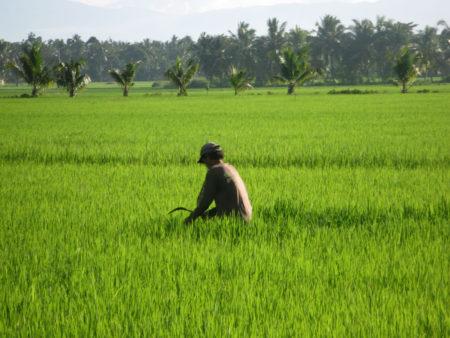 organic-ricefarm