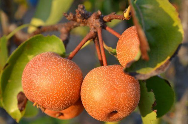 pears-2706253_960_720
