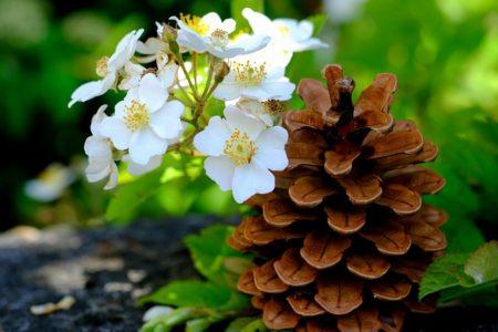 pine-cones-2344431_640