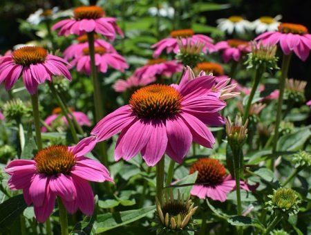 pink-echinacea-2369733_640