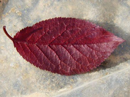 plum-leaf-1378242_640-450x338