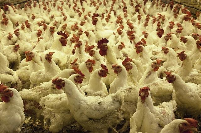 poultry farm 1544654 960 720