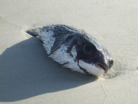 海岸に打ち上げられたフグ