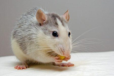 rat-440987_640