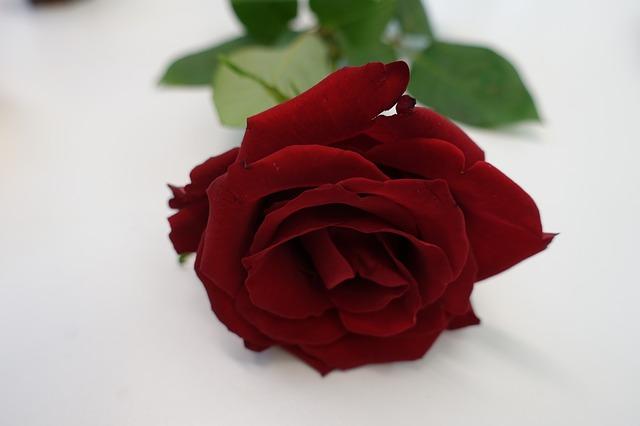 red-rose-2424981_640