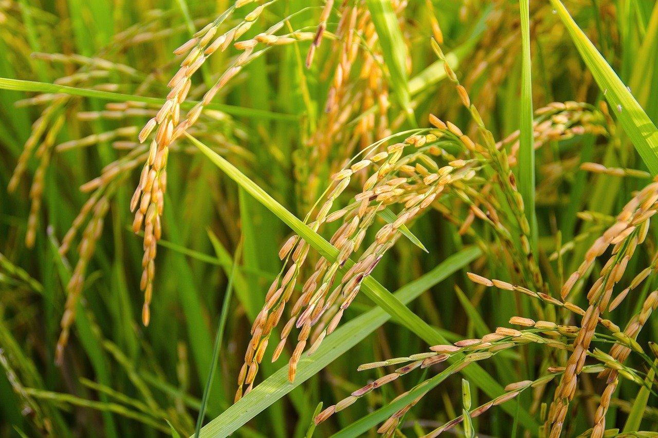 rice 1594612 1280