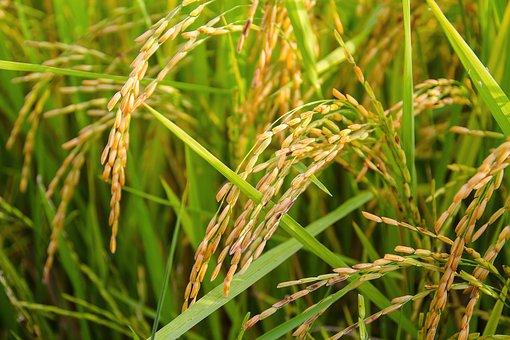 rice 1594612  340