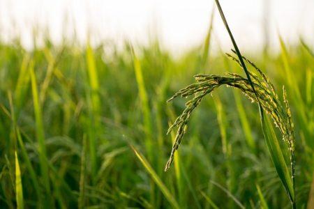 rice-560046_640