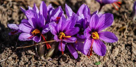 saffron-1136778__340