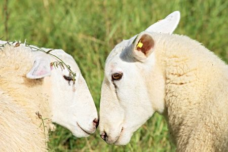 sheep-2756295_960_720