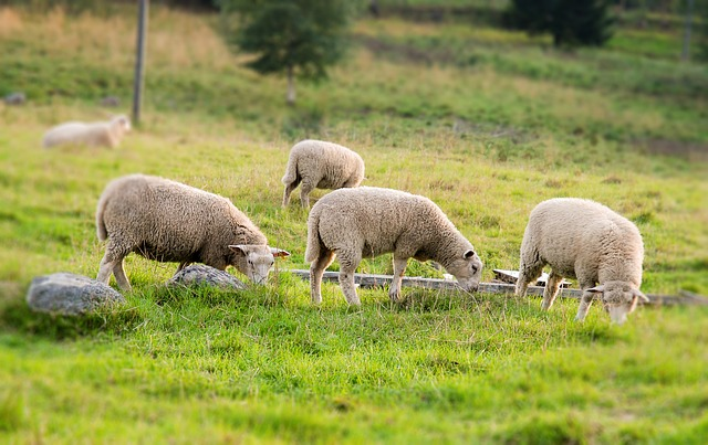 sheep-530313_640