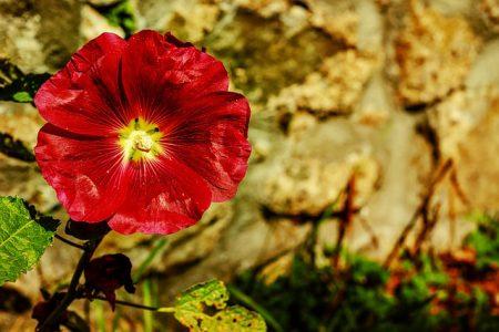 stock-rose-3481435_640