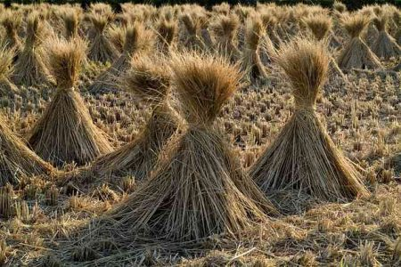 稲刈りの後の田んぼ