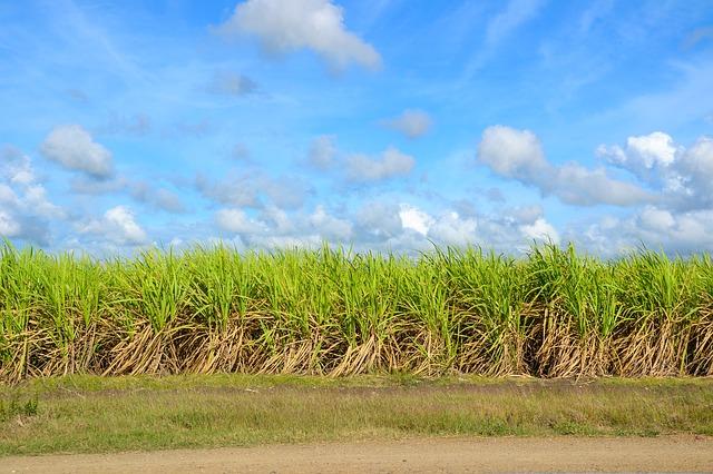 sugar-cane-1928773_640
