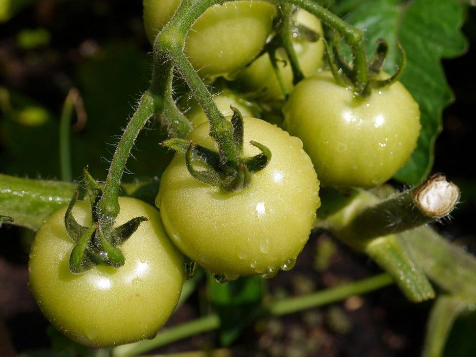 tomato-498720_960_720