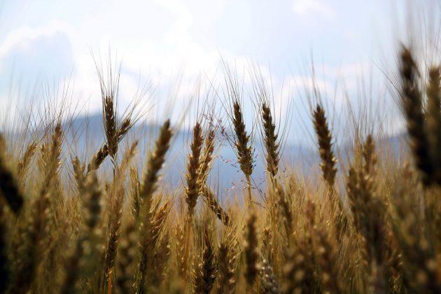 wheat 1149885 960 720