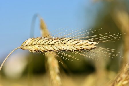 wheat-3492291_640