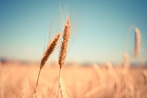 wheat 865152  340