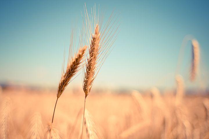 wheat 865152  480