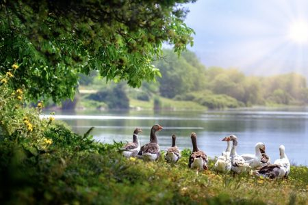 wild-geese-3379677_640