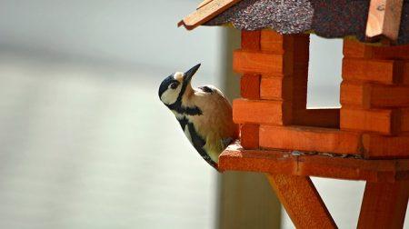 woodpecker-758296_640