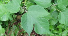 日本で野生化している桑の木は邪魔者ではなく宝の山だった!食べられる桑の葉の簡単な使い方とおすすめの食べ方レシピ4つ。