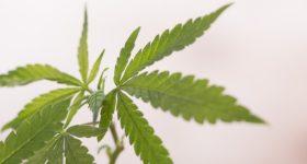 カナダでは大麻がついに合法化へ。医療現場で注目を浴びているその理由。将来の代替医療の救世主になるかもしれない、日本で違法の大麻の可能性とは。