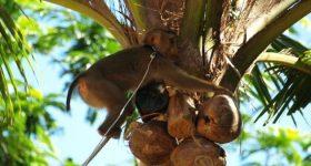 ココナッツミルクの正しい選び方。ココナッツブームの裏側にある悲惨な動物虐待の裏事情と生産背景。