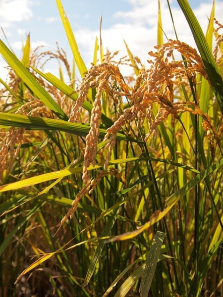 yamadas-rice-fields-978737_640